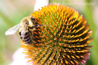 Bublebee on echinacea
