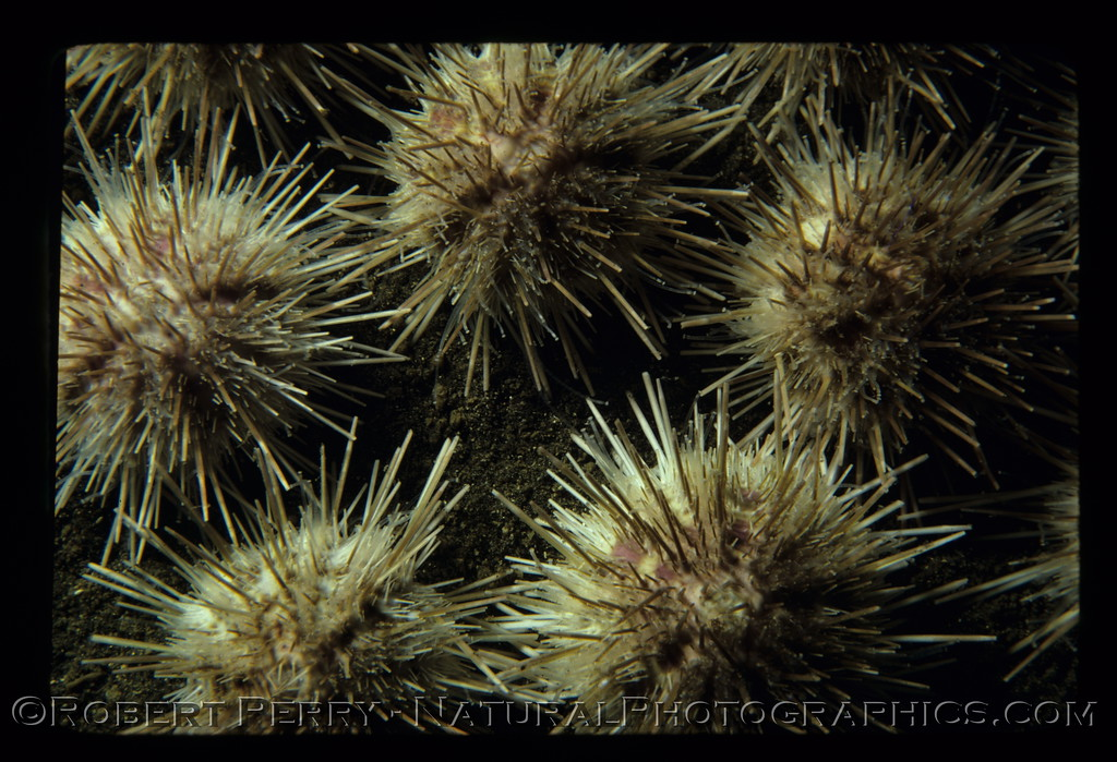 White sea urchins, Lytechinus anamesus, from southern California.