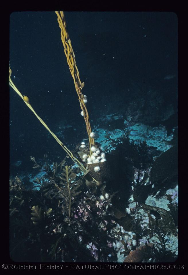 White sea urchins (Lytechinus) attack giant kelp stipes (Macrocystis.  Dive log 1090, Santa Cruz Island.