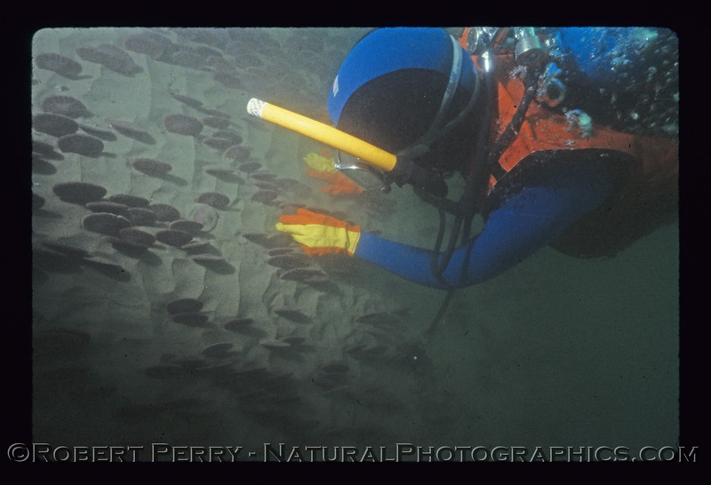 Diver approaching inside edge of western sand dollar bed, Dendraster excentricus, near Santa Monica Pier.  Dive log 846.