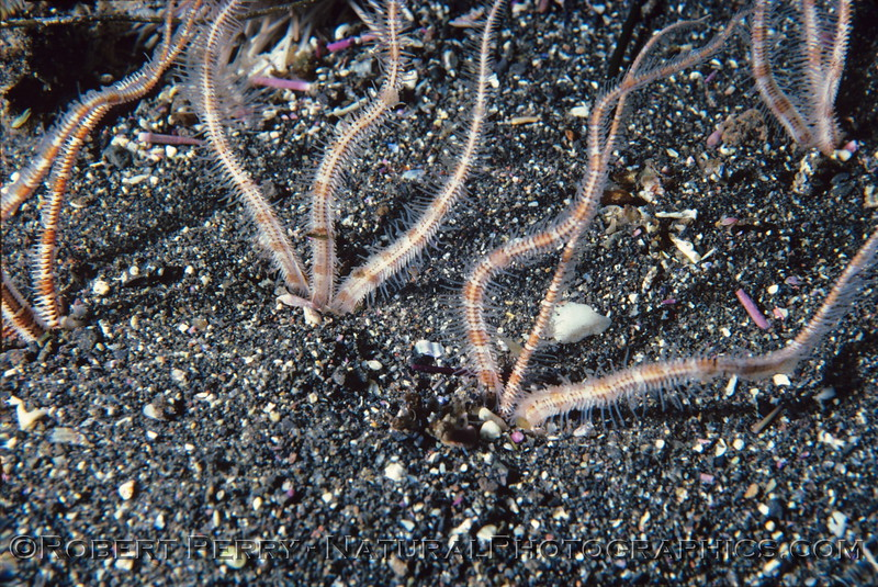 Ophiuroid arms stick out of sand log 1122 Anacapa 1985-07-mod