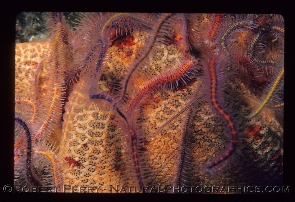 Ophiothrix spiculata on Patria miniata CLOSE log 963 Anacapa 1983-07-mod