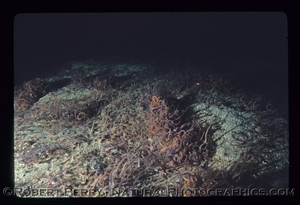 Ophiothrix spiculata, masses crawl over the bottom, Anacapa Island, California.