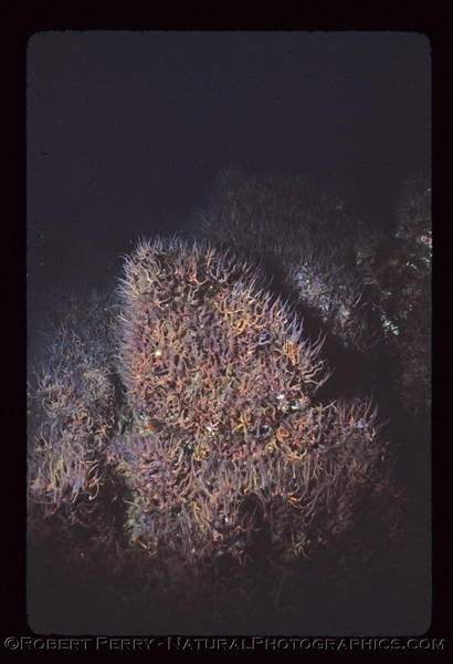 Ophiothrix spiculata masses on reef log 971 Anacapa 1983-08-mod