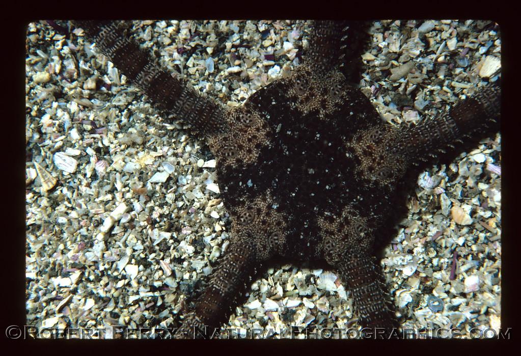 Ophioderma panamense on sand and shell bottom, Santa Cruz Island, California.