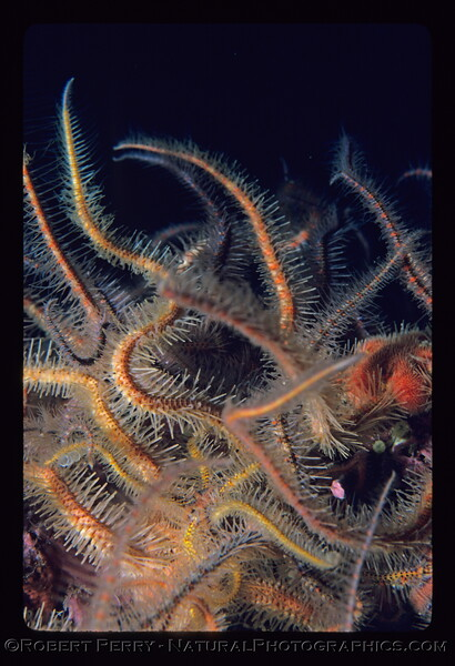 Ophiothrix spiculata many on bottom close log 1107 Anacapa 1985-05-mod