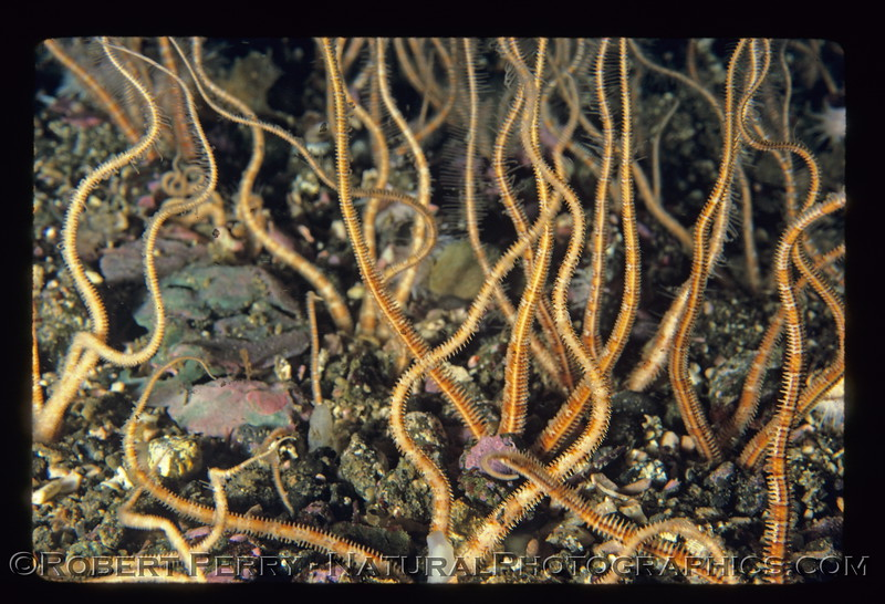 Ophiuroid arms stick out of sand CLOSE log 777 Anacapa-mod