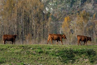 JW2_5943_cows