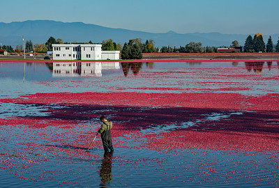 Working the Cranberry Bog