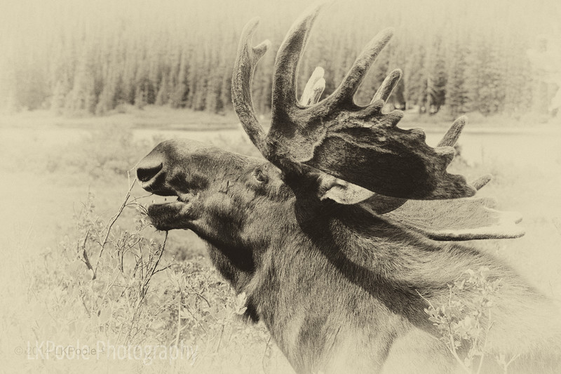 Moose Calling