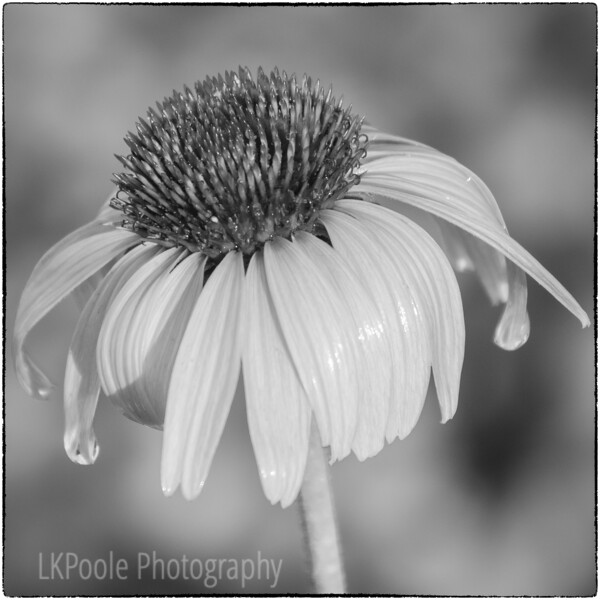 Black and White Coneflower