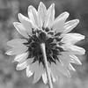 Back Side of the Sun(flower)