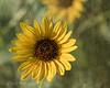Sun(flower) Shine
