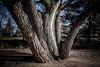 Many Trunks Tree