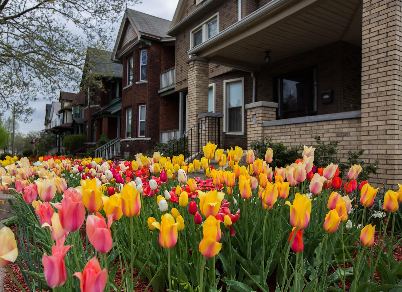 Corktown tulips