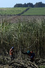 Workers cuts sugar cane in a field belonging to the Moema sugar mill in Orindiuva, about 530 km (330 miles) northwest of Sao Paulo, Brazil, April 4, 2008. The Moema mill is one of dozens in Brazil which produce ethanol, as well as sugar, as part of Brazil's sugar can boom. Ethanol production began during the in 1970s during the nation's military government as a national security measure for energy independence. The independence never happened and ethanol gradually fell out of fashion, but those first steps have put Brazil at the forefront of the world's Bio-fuel boom as the fuel makes a comeback. More ethanol per acre is made from cane than from corn, and for less cost. The mills even use part of the cane to produce electricity run the plant. Aside from the fuels used in the field machinery, plants are energy self-sufficient. (Australfoto/Douglas Engle)