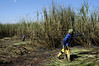 A worker cuts sugar cane in a field belonging to the Moema sugar mill in Orindiuva, about 530 km (330 miles) northwest of Sao Paulo, Brazil, April 4, 2008. The Moema mill is one of dozens in Brazil which produce ethanol, as well as sugar, as part of Brazil's sugar can boom. Ethanol production began during the in 1970s during the nation's military government as a national security measure for energy independence. The independence never happened and ethanol gradually fell out of fashion, but those first steps have put Brazil at the forefront of the world's Bio-fuel boom as the fuel makes a comeback. More ethanol per acre is made from cane than from corn, and for less cost. The mills even use part of the cane to produce electricity run the plant. Aside from the fuels used in the field machinery, plants are energy self-sufficient. (Australfoto/Douglas Engle)