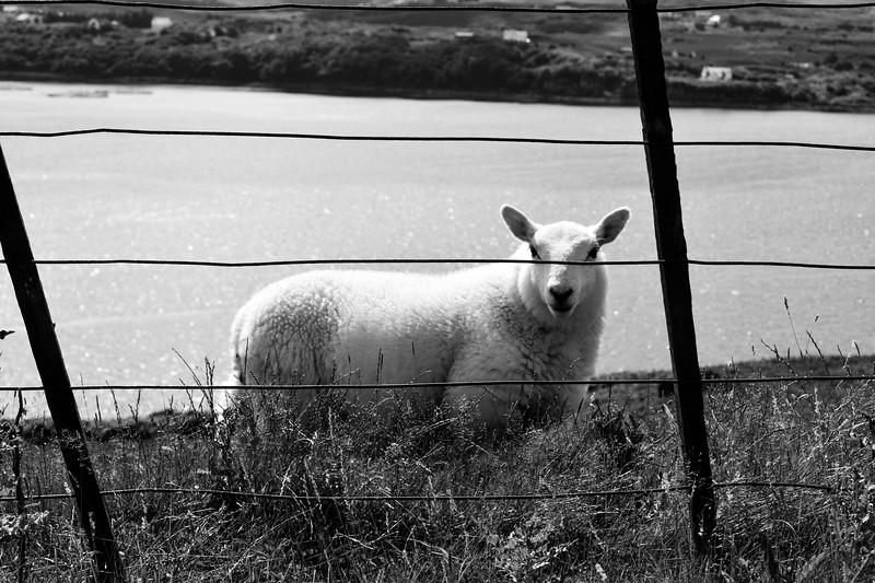 Mouton écossais - @d.gontier
