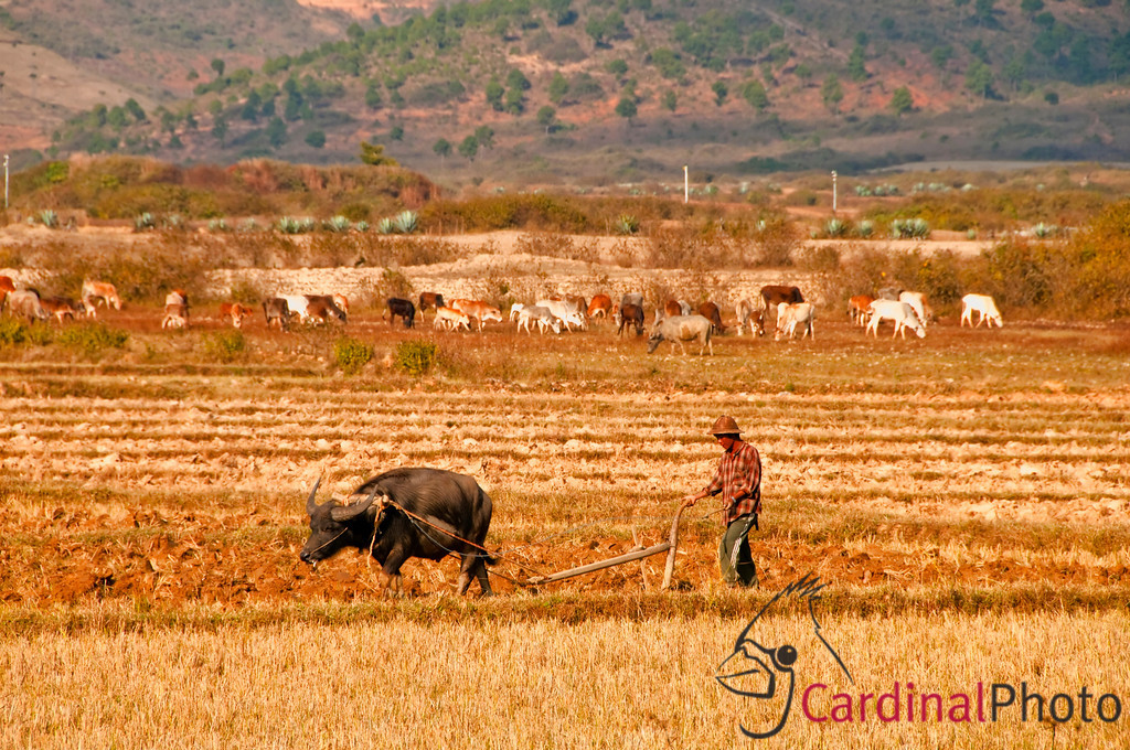 Shan villager plowing his farm field with his ox and by hand in the Inle Lake Area, Shan State, Myanmar (Burma), Southeast Asia