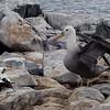Albatross harassing Nazca Booby