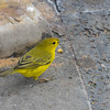 Darwin's Yellow Finch