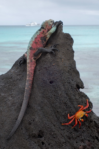 Marine Iguana and crab on lava formation