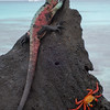 Marine Iguana and crab on lava formation