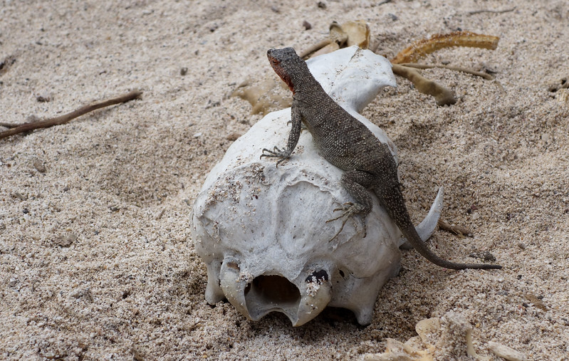 Lava Lizard - perched on skull of Sea Lion