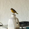 Darwin's Yellow Finch posing on yogurt container at our B&B