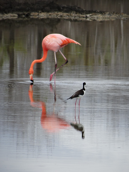 Flamingo and Black-necked Stilt