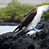 Blue Booby