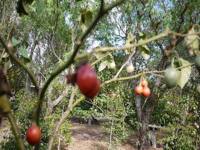 tomate the arbol