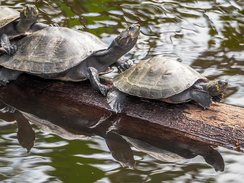 Turtles - Sacha Lodge