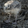 Swallow-tail Gull chick