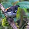 White-winged Brush-Finch
