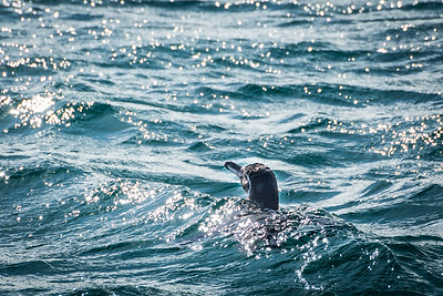 Penguin - Bartolome Island