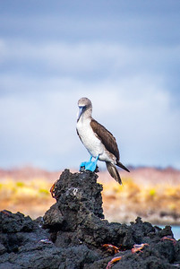Black Turtle Cove - Blue Footed Booby