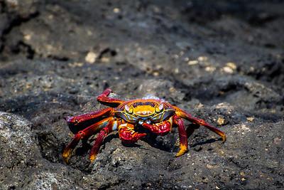 Sally Light Foot Crab