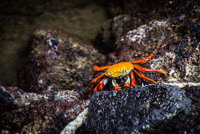 Sally Light Foot Crab - Santa Cruz Island