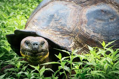 Tortoise - Santa Cruz Island