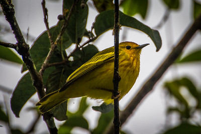 Yellow Breasted Warbler