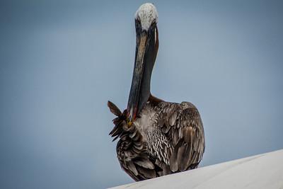Pelican - Santa Cruz Island