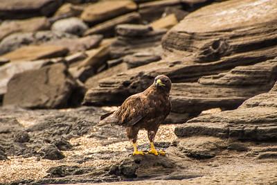 Galpagos Eagle