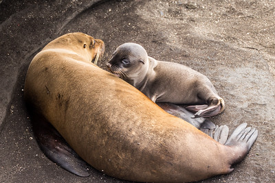 Mother and baby Sea Lion