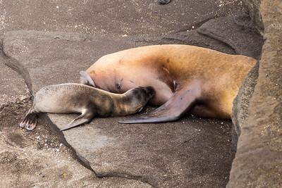 Sea Lion breastfeeding