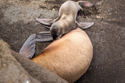 Sea Lion breastfeeding