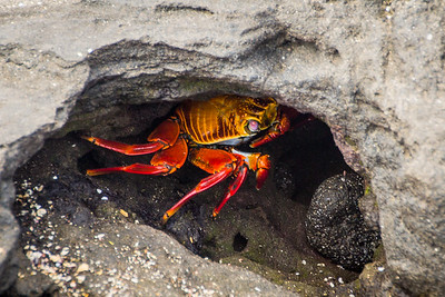 Sally Light Foot Crab