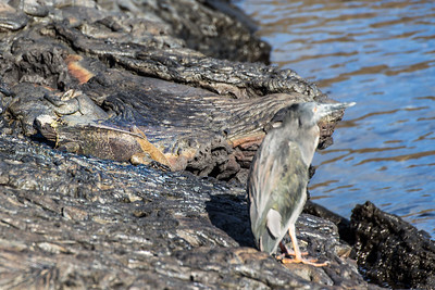 Marine Iguana and Lava Heron at Sullivan Bay/ Santiago Island