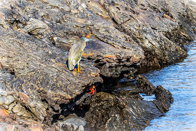 Sally Light Foot Crab and Lava Heron at Sullivan Bay/ Santiago Island