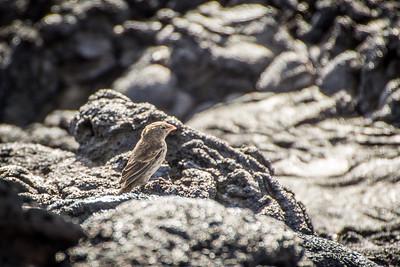 Bird - Santiago Island
